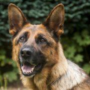military dog breeds